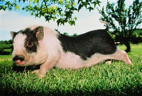baby pot belly pigs socialize and bond with baby pot bellied pigs