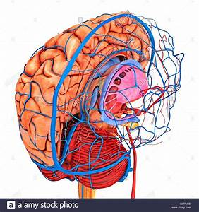 Brain Vascular System And Blood Supply  Artwork Showing