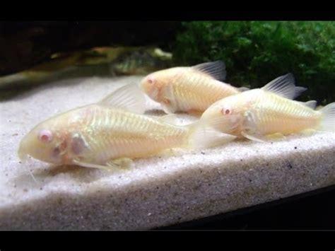 breeding cory catfish    video youtube