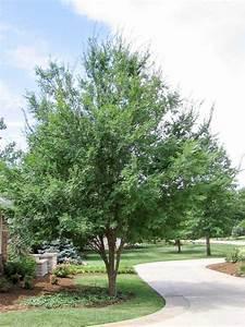 elm-allee-2 - Tree Top Nursery & Landscape Inc