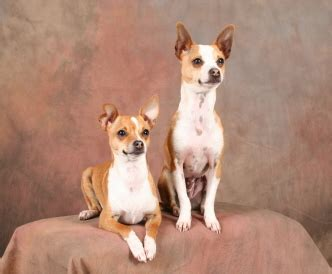 taco terrier chihuahua toy fox terrier mix info puppies