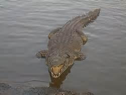 crocodylia wikipedia