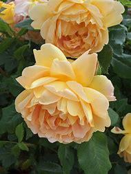 Golden Celebration English Rose