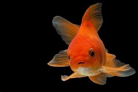 was fressen goldfische goldfische schnappen nach luft das zeigen ihnen die fische damit an