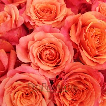 Cherry Coral Rose