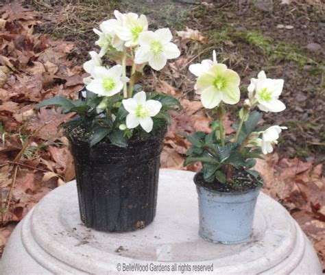 growing hellebores in containers top 28 growing hellebores in pots 17 best images about container plants spring summer on