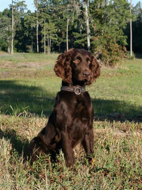 do boykin spaniel dogs shed 5 overlooked breeds that make great family companions