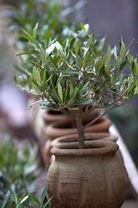 Olivenbaum Im Topf : olivenbaum pflege anleitung schneiden und berwintern ~ Michelbontemps.com Haus und Dekorationen
