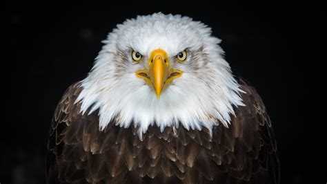 bald eagle   wallpapers hd wallpapers id