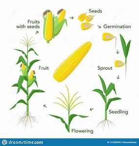 Maize Plant Growth Infographic Elements From Seeds To
