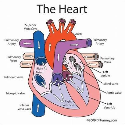 Heart Diagram Labeled Valves Human Circulatory