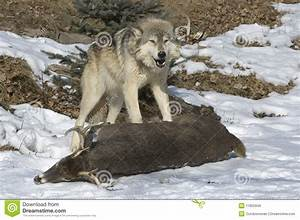Gray, Wolf, On, Kill, Royalty, Free, Stock, Images