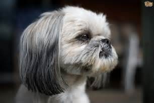 No Shedding Dog Breeds Small Dogs by Shih Tzu Dog Breed Information Buying Advice Photos And