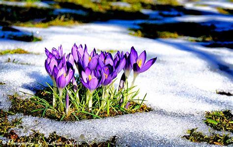 tauwetter die krokusblueten haben den wintereinbruch