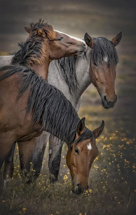 wild onaqui mustangs danger mountains horse