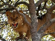 National Geographic Animals Lions