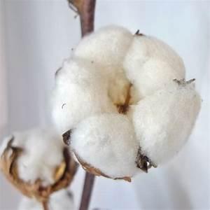 Bouquet Fleur De Coton : d coration fleur s ch e de coton blanc branche de coton s ch ~ Teatrodelosmanantiales.com Idées de Décoration