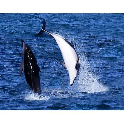 Animal A Day!: Dusky Dolphin