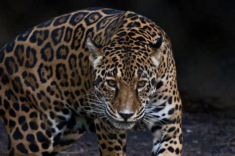 Jaguar Hunting  Flickr  Photo Sharing