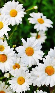 Free HD Daisy Flowers Phone Wallpaper...1241
