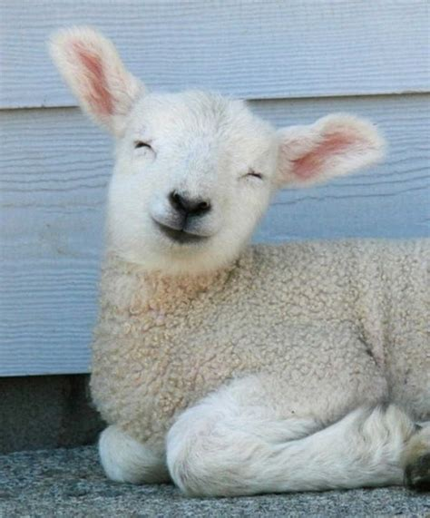 Super Cute Sheep Squee