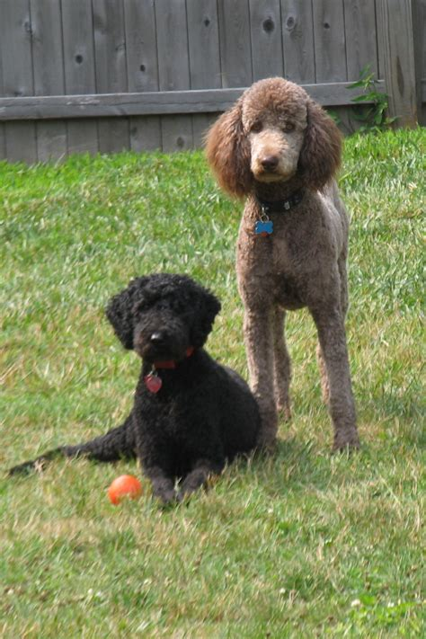 Filestandard  Ee  Poodles Ee   Black And Brown Females Jpg