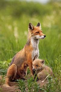 ~~Alert Red Fox adult and kit by Impisi~~ | Animals ...