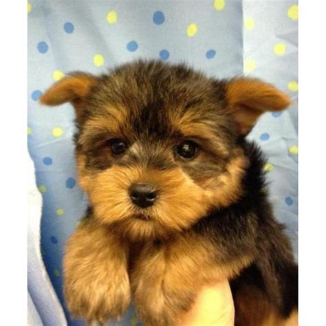 tiny adorable baby yorkie puppy  california puppies