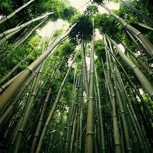 Bambus Vernichten Tipps : wohlf hlatmosph re mit bambus anbau herstellung einkauf yaacool bio ~ Whattoseeinmadrid.com Haus und Dekorationen