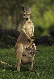 A Captive Red Kangaroo Macropus Rufus | Mom, Australia and ...
