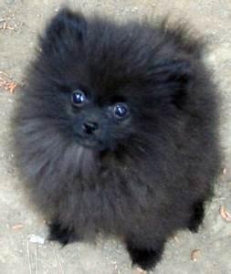 Black Pomeranain Pup | Cute Pomeranians | Pinterest