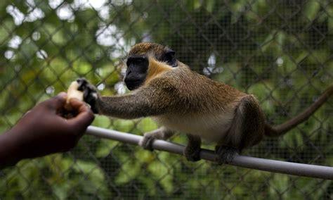 nevis monkey massacre critters ravaging island paradise