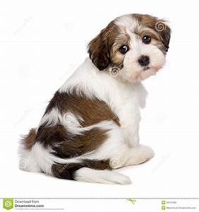 Cute havanese puppy is sitting and photographed from for Puppy dog sitter