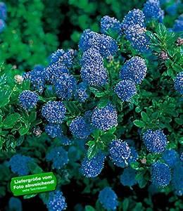 Immergrüne Pflanzen Winterhart Kübel : baldur garten immergr ne s ckelblume blauer ceanothus ~ Lizthompson.info Haus und Dekorationen