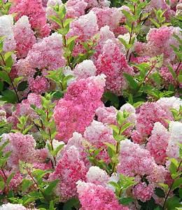 Hydrangea Paniculata Schneiden : freiland hortensie vanille fraise 1a qualit t baldur ~ Lizthompson.info Haus und Dekorationen