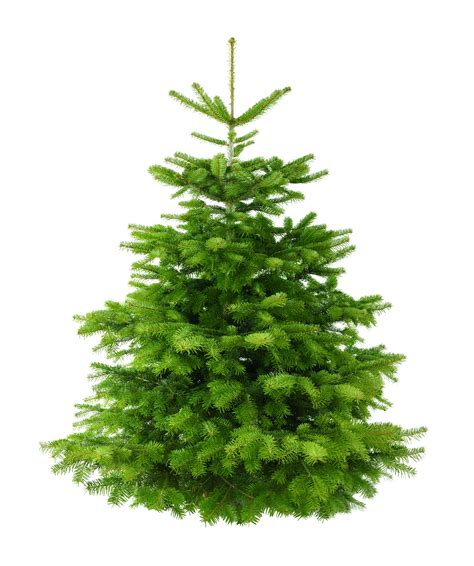 Christmas Tree 6ft by 6ft Nordman Fir Low Needle Drop