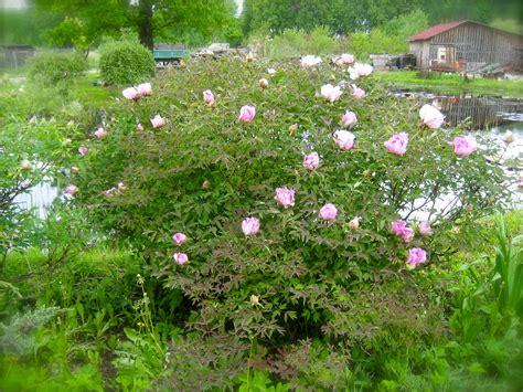 Pie mums zied kokveida peonija .. - Stādaudzētava Dimzas