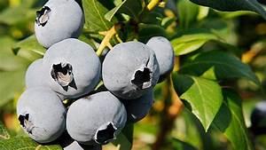 Wann Heidelbeeren Pflanzen : heidelbeeren pflanzen blaubeeren frisch aus dem garten ernten ~ Orissabook.com Haus und Dekorationen