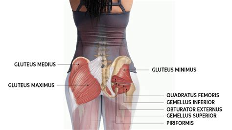 What Are The Three Gluteal Muscles And What Functions Do