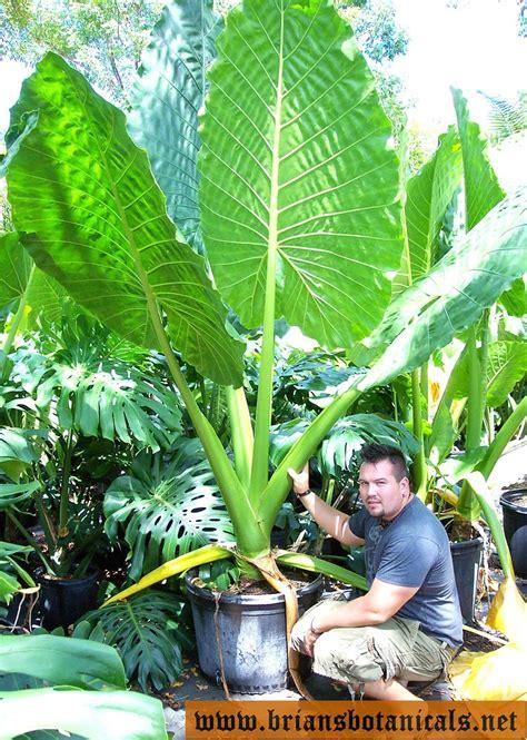 alocasia borneo giant   friend grew  alocasia