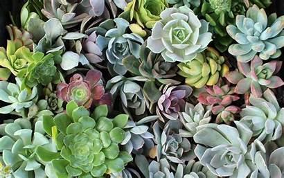 Succulent Succulents Wallpapers Aesthetic Laptop Plant Cactus