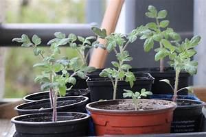 Tomaten Wann Pflanzen : tomaten pikieren wann und wie anleitung in 5 schritten ~ Frokenaadalensverden.com Haus und Dekorationen