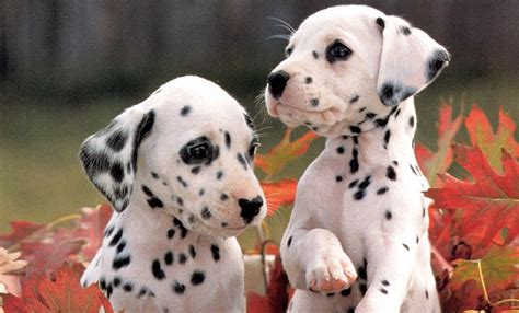 dalmatian cute puppies  cute puppy images pictures