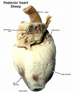 Posterior Sheep Heart Anatomy