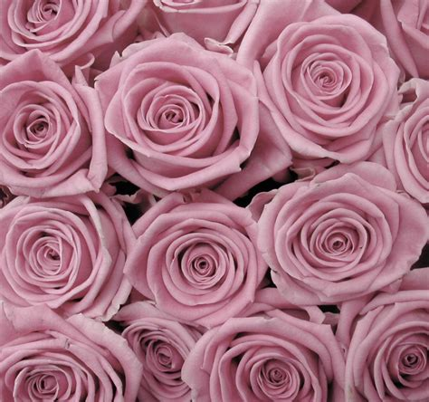 rose background tumblr hd wallpapers hd backgrounds