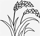 Rice Plant Drawing Getdrawings Lines sketch template