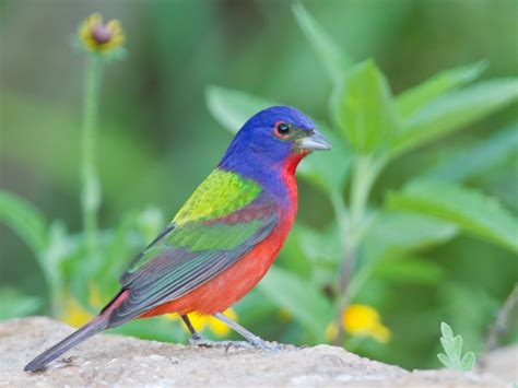 how can i attract painted buntings ecobeneficial