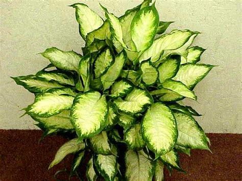 Zimmerpflanzen Bilder Und Namen by Green Acres Dieffenbachia