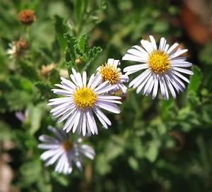 Olearia - Wikip... Daisy