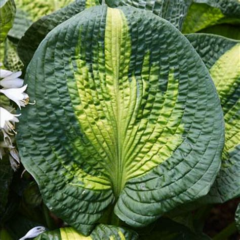 large hostas varieties where to find unusual hosta varieties grow a lush shade garden with hostas this old house